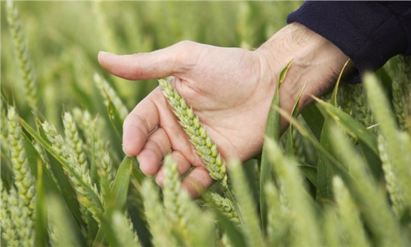 Buğdayda tohum ilaçlaması fark yaratıyor