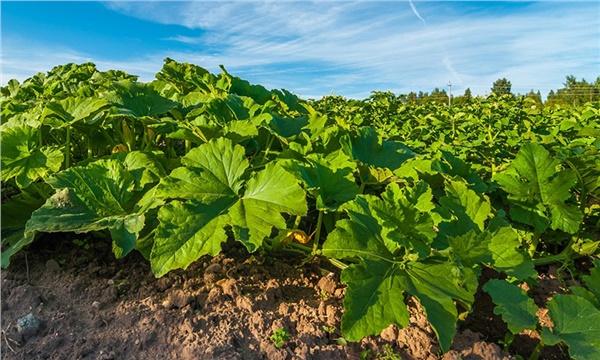 Dikim salatalık: başarının sırları